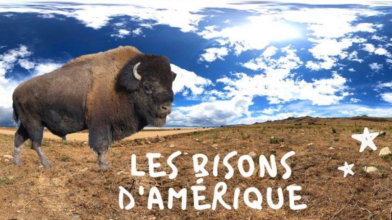 Les bisons d'Amérique